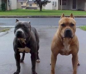 pitbulls_1400056479