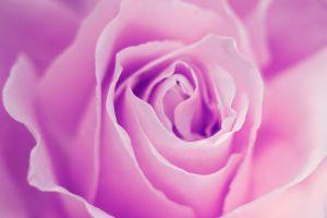 Close-up of a purple rose
