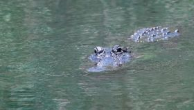 Crocodile in the water of the Everglades National Park, Florida, USA