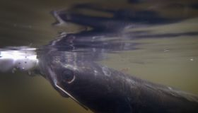 Florida Aims To Control Invasive Snakehead Fish Species