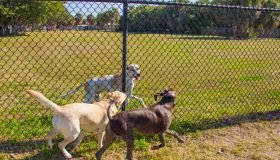Three dogs running along either side of a fence in a public park, United States